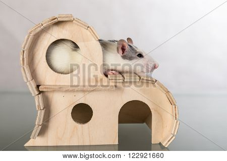 Young domestic rat in a wooden house