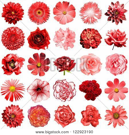 Mix Collage Of Natural And Surreal Red Flowers 25 In 1: Peony, Dahlia, Primula, Aster, Daisy, Rose,