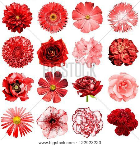 Mix Collage Of Natural And Surreal Red Flowers 16 In 1: Peony, Dahlia, Primula, Aster, Daisy, Rose,