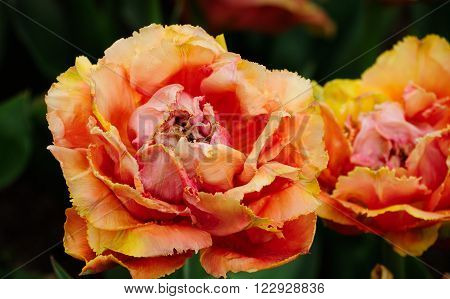 An orange and yelllow tulip in the gardens of Shanghai Flower Port in Shanghai China.