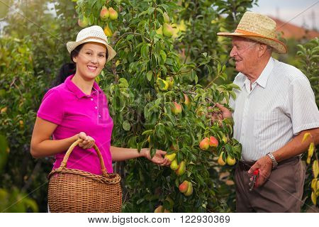 Young woman help an older man in the orchard to pick pears