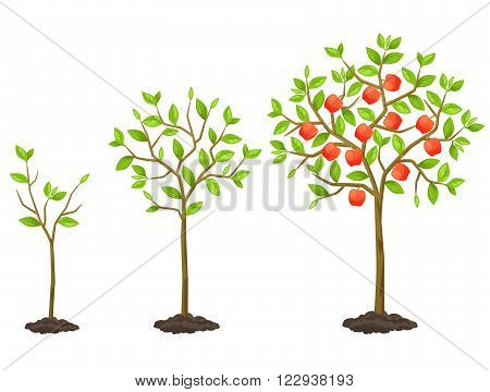 Growth cycle from seedling to fruit tree. Illustration for agricultural booklets, flyers garden.