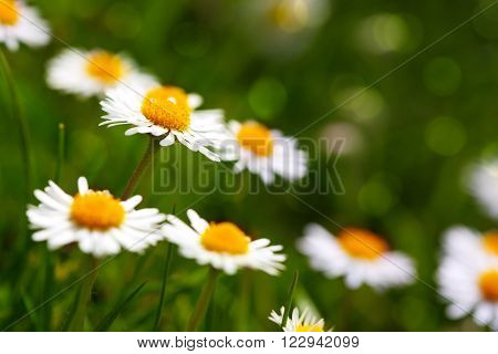 Beautiful daisy flowers.White daisy flower at garden.