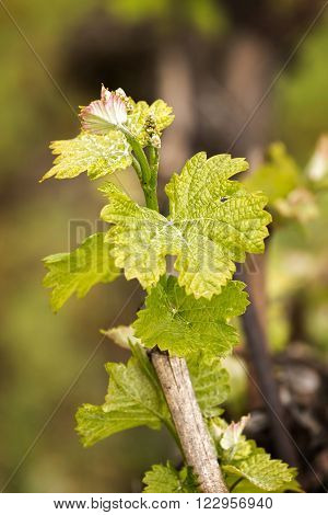 Beautiful detail of grapes in spring at the sunset light