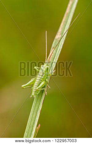 Small green grasshopper on the grass close up