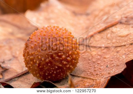 Big oak apple on leaf (common oak gall wasp)