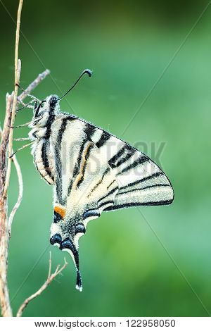 Close up from Bbeautiful swallowtail (Papilio machaon )