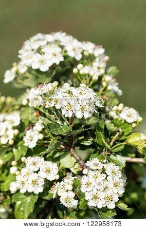 Close up of white hawthorn bush flowers