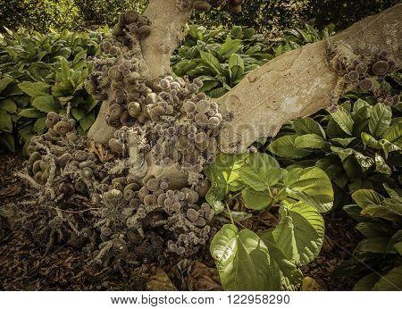 Fig Tree at Botanical Gardens at Largo on Florida's Gulf Coast