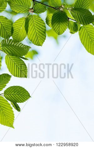 Beautiful harmonious forest detail with hornbeam leaves