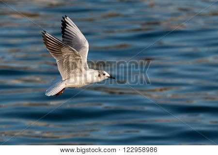 Young seagull flying over the blue ocean