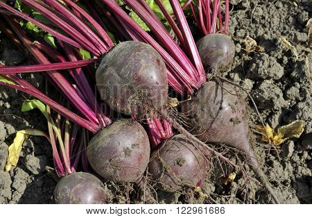 Lifted red beets or beet roots in the vegetable garden.Beetroot variety Boltardy.