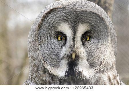 Great gray owl (Strix nebulosa) close portrait