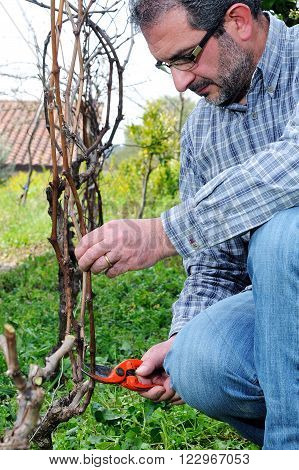 Pruning Of The Vineyards