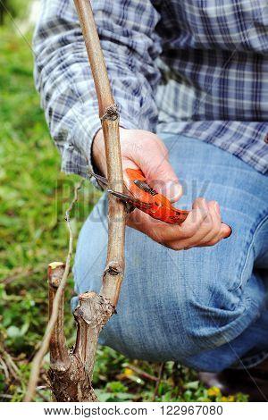 Pruning Of The Vineyards