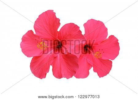 Two hibiscus flower isolated on white background