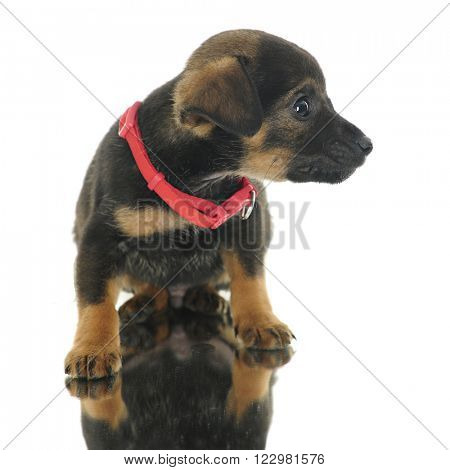 Close-up view of a tiny mutt ignoring the reflection as he sits on a mirror.  On a white background.