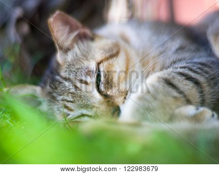 A cat with left ear partially cut sleeping on green grass with one eye half-opened.