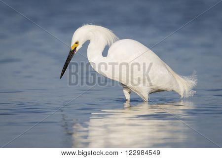 Snowy Egret Foraging In A Tidal Lagoon - Florida