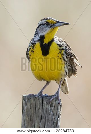 Eastern Meadowlark Perched On A Fence Post - Florida