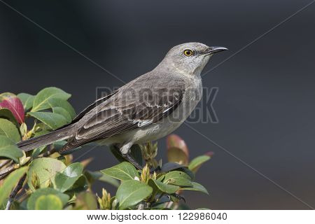 Northern Mockingbird Perched In A Shrub - Florida