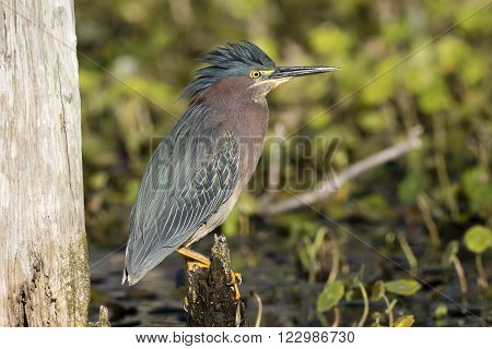 Green Heron (Butorides virescens) Perched on a Stump - Orlando Wetlands Florida
