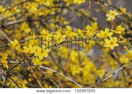 Branches of blooming forsythia with selected in a sunny afternoon