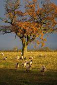 English countryside sheep scene poster