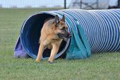 German Shepherd Leaving Tunnel at a Dog Agility Trial poster