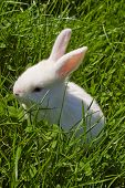 little white rabbit watching on green grass poster