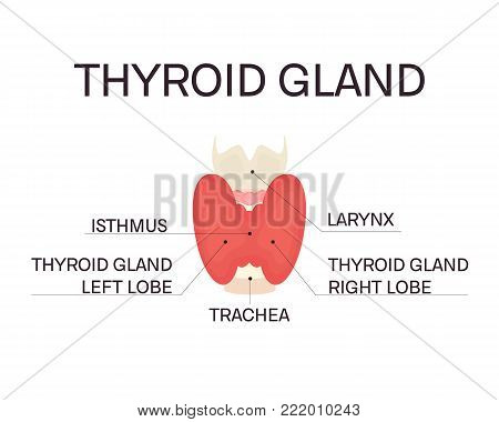 Thyroid gland and trachea front view on white background. Human body organ anatomy icon with description. Thyroid diagram scheme sign. Medical concept. Isolated vector illustration.