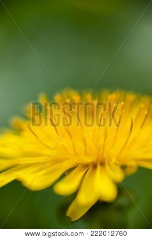 Yellow Dandelion Closeup Stamen