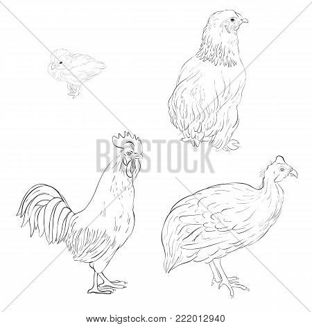 vector sketch of domestic birds, poultry isolated at white background