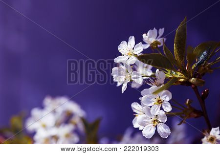 Beautiful blooming pink apricot branches at spring on violet background.