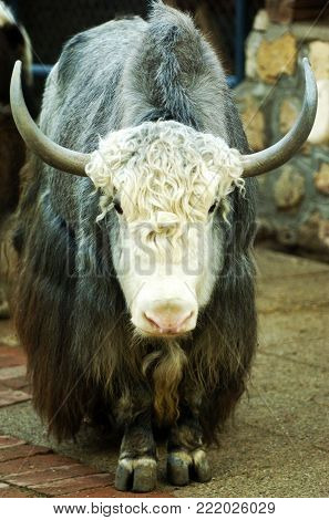 Portrait of yak in the zoo on summer day