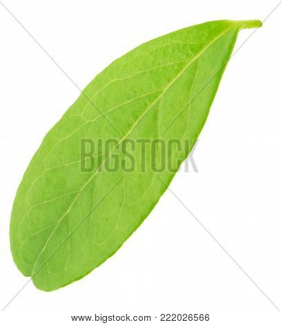 Cowberry leaf isolated on a white. As a design element.
