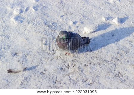 City pigeon with dark gray plumage on a square covered with snow and rime in frosty winter morning
