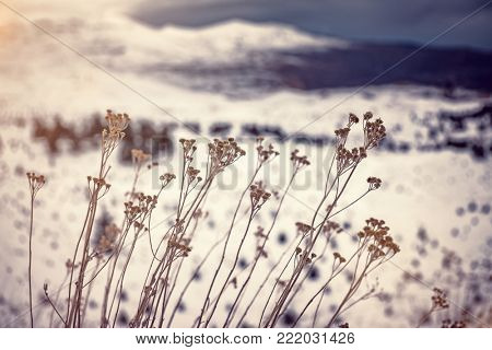 Dry wildflowers over snowy mountains background, nature details, vintage style photo of wild nature, cold but sunny winter weather, Lebanon