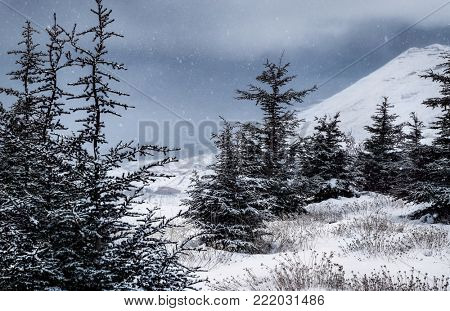 Cedar Mountains in winter, beautiful wintertime landscape, fir trees covered with white clean snow during snow storm in high mountains, peaceful winter view, Lebanon