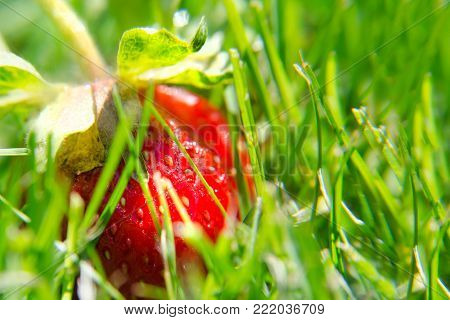 Red strawberry on the green grass. Makro. Close-up