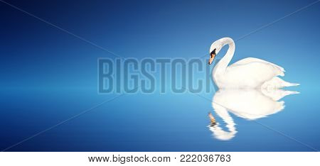 Mute swan on blue background. Copy space for text. Mock up template