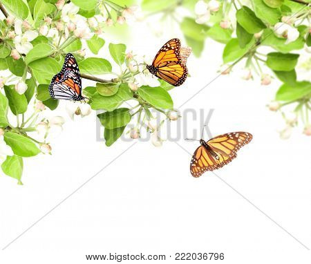 Flowers of apple and monarch butterflies (Danaus plexippus, Nymphalidae). Isolated on white background