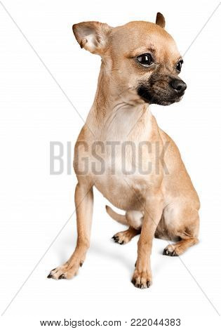 Cute dog chihuahua one animal looking at camera isolated on white purebred dog