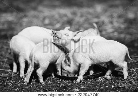 Pigs on the farm. Little piglets. Household. Lovely pets. Black and white art monochrome photography. Black and white creative photography. Black and white conceptual image. Beautiful black and white background.