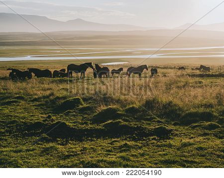 Icelandic horse grazing on mountain pasture at foggy morning