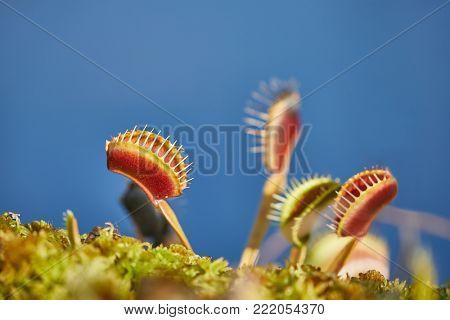 Venus's flytrap carnivorous plant in a garden