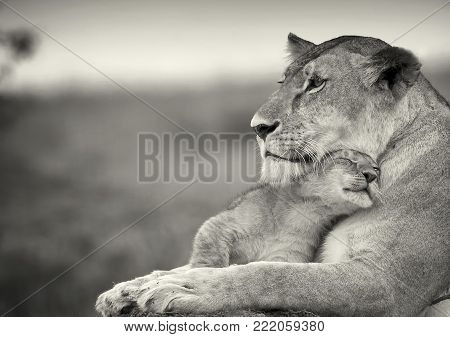 The Affection of mother is seen between lioness and its baby