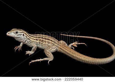 A New Mexico whiptail lizard, Aspidoscelis neomexicana, at Omaha's Henry Doorly Zoo.