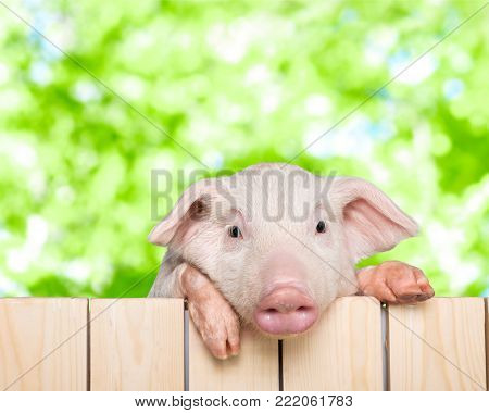 Animal fence pig piglet baby animal young animal smile face