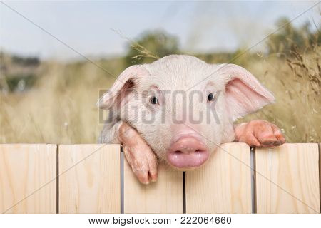 Fence pig piglet baby animal young animal smile face cute animal